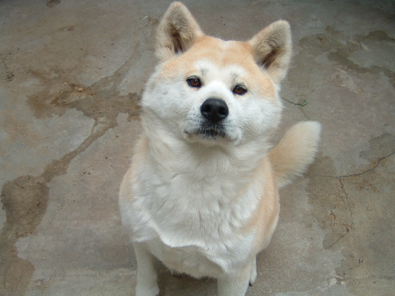 Hachiko dog breed name but the dog is the richard