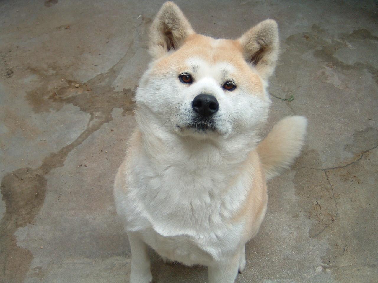 A Akita Dog Akita ken | Tokyo Five