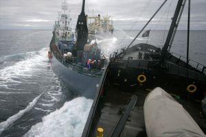 """The """"Sea Shepherd"""" rammed the """"Yushin-maru""""."""