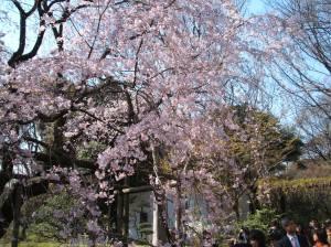 桜 (Cherry Blossoms)