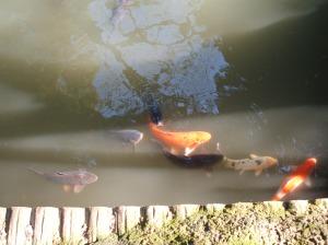 鯉 (Carp)
