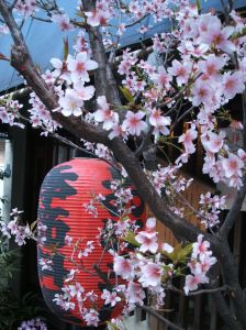 桜&提灯 (Cherry Blossoms and paper lantern)