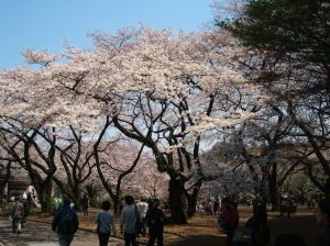 桜 (Cherry Blossoms)