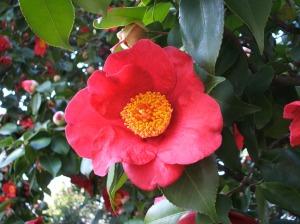 ツバキ (Camellia)