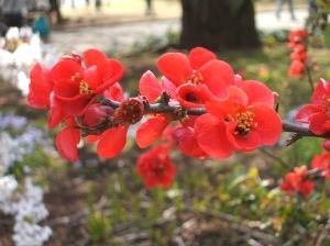 ボケ (Flowering Quince)