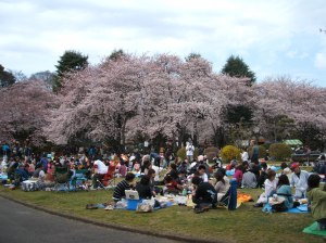 Many people were enjoying 花見 (Cherry Blossom Viewing)