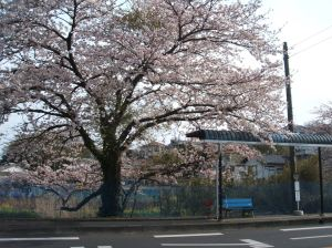 Cherry Blossom tree next to a bus stop