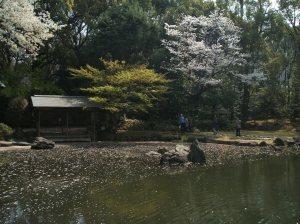 Sakura petals are floating in the lake.