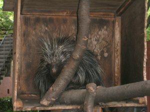 ハリネズミ (Porcupine)