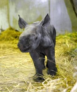 The new baby White Rhino at Ueno Zoo.