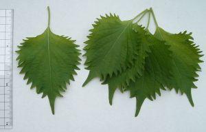 shiso-herb