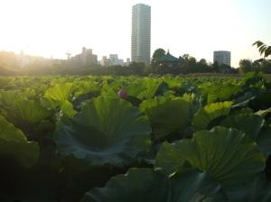 "不忍池 (""Shinobazu Pond"") at 上野公園 (Ueno Park)"