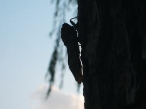 蝉 (A Cicada) on a tree