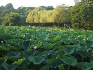 不忍池 (Shinobazu Pond)