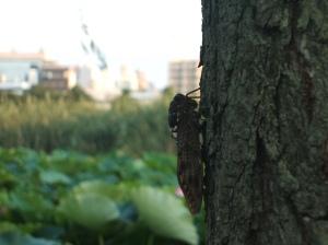 Mr. Cicada serenading the ladies.