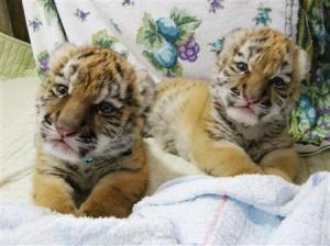 「タイガ」 (Taiga) and 「ココア」 (Cocoa) when they were cubs.