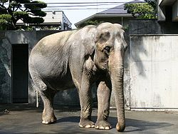 Hanako, the oldest elephant in Japan