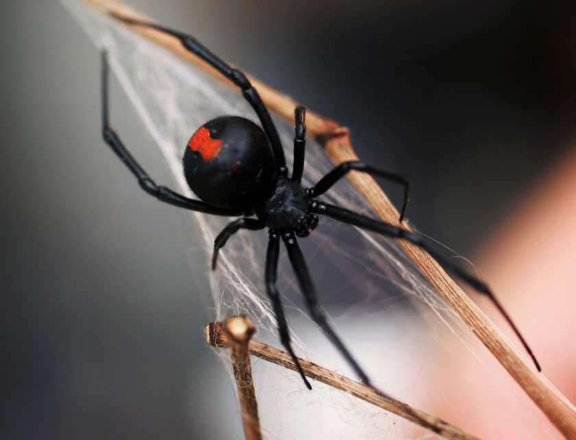 Black Widow family…and before that Japan had no poisonous spiders.