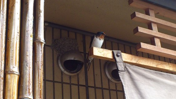 A ツバメ (swallow) made her nest in a temple.